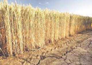 زراعة البحيرة: حصاد 11695 فدان قمح واستعدادات مكثفة بالشون والصوامع لبدء التوريد