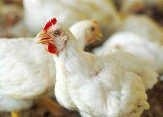 «منتجي الدواجن» تعلن انخفاض أسعار البيض والدواجن
